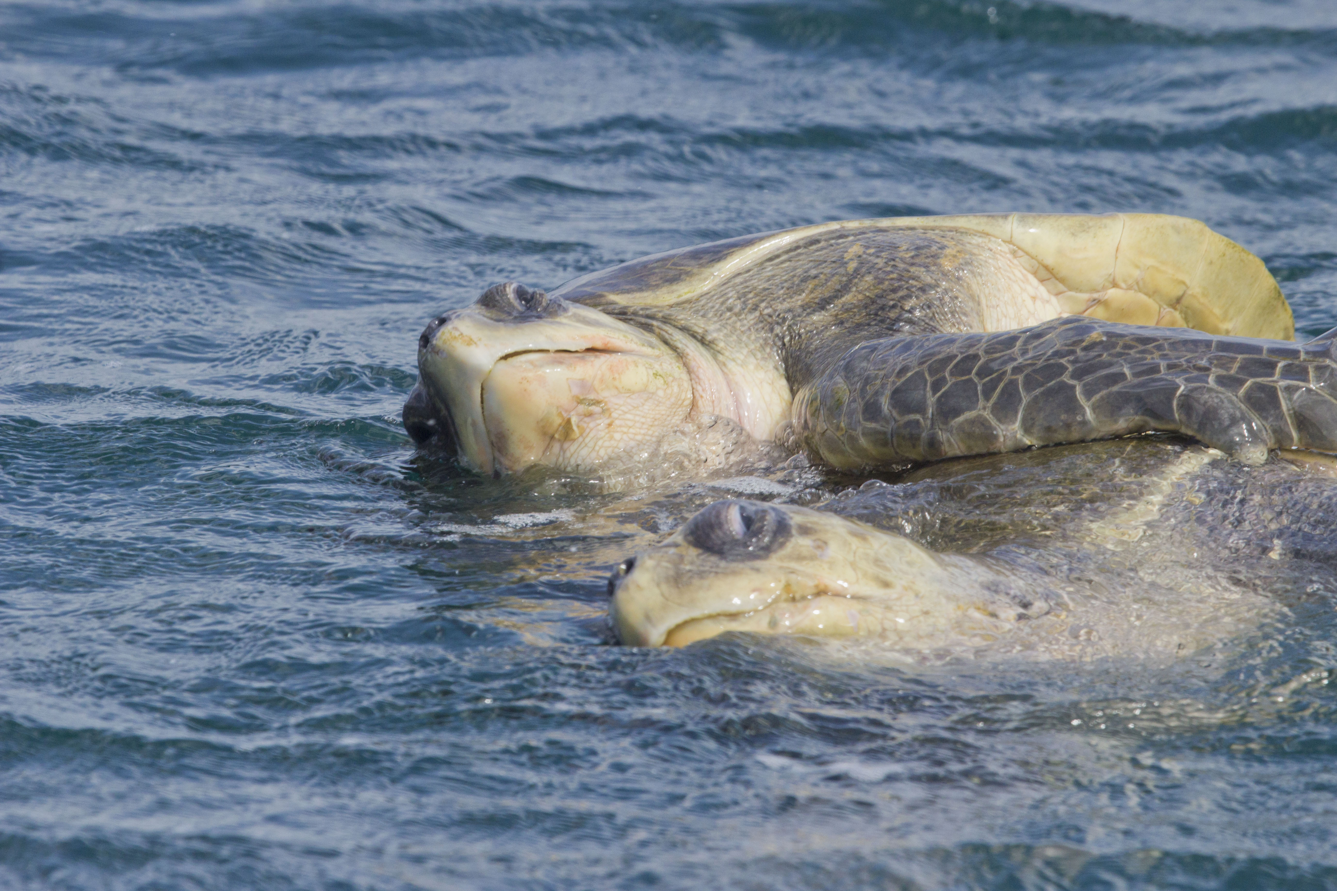 A pair of Olive Ridely sea turtles mating near La Flor beach (Play LaFlor), Nicaragua. © Hal Brindley .com